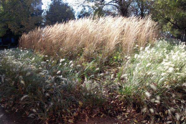 biojardineria_pennisetum_calamagrostis_2_750x500