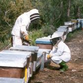 apicultor_veterinari