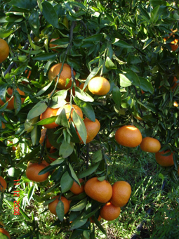 fructicultura_clementines