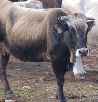 vaca_albera