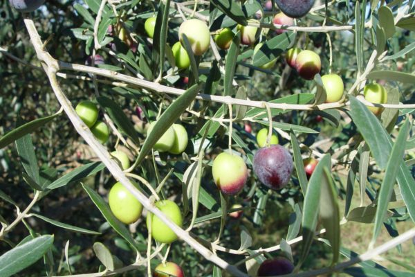 olives Palomar