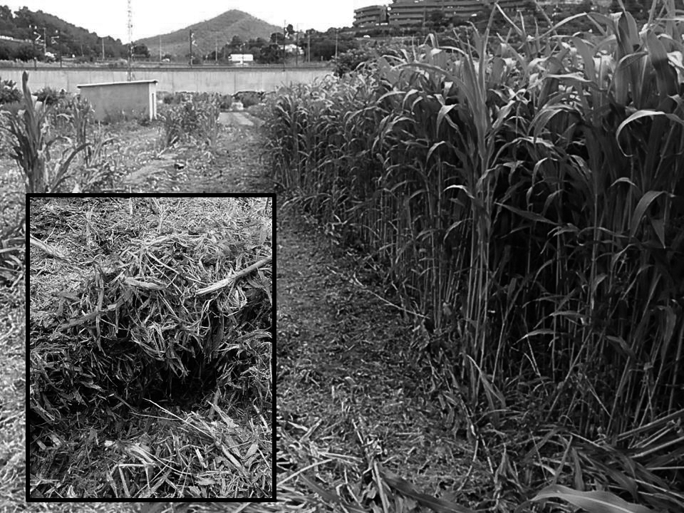 Biomassa sorgo