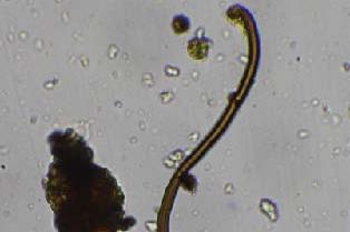 microscopica