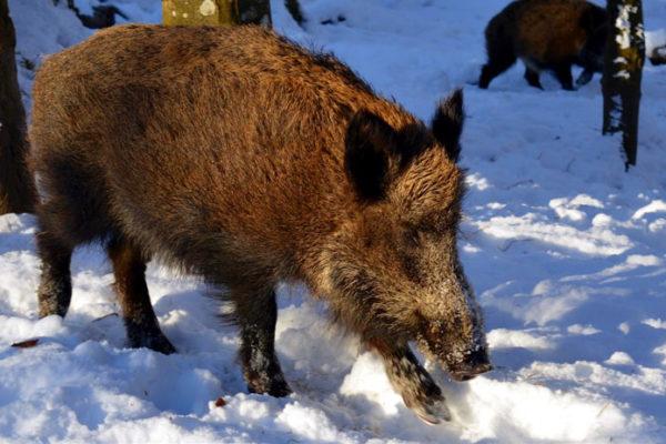 mon_rural_porc_senglar