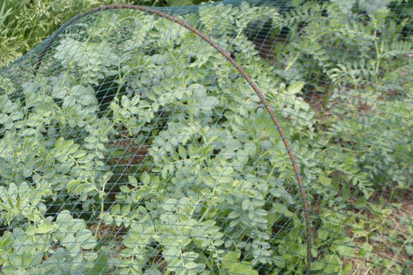 cigrons cultivats sota una malla